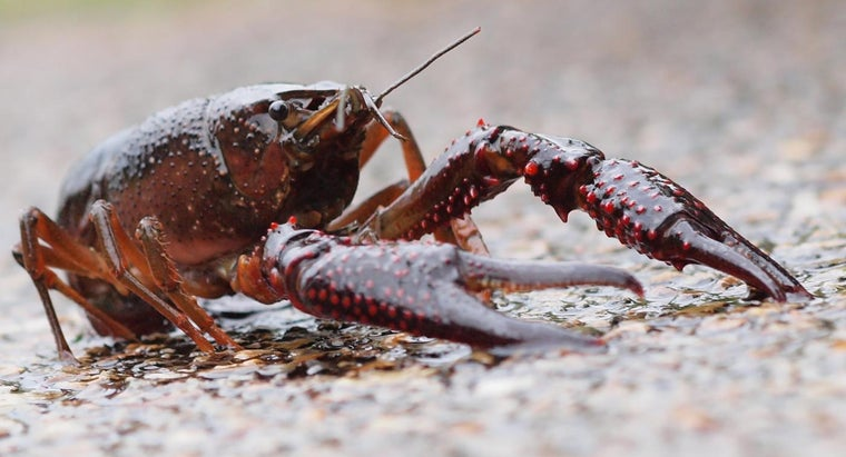 long-crayfish-live