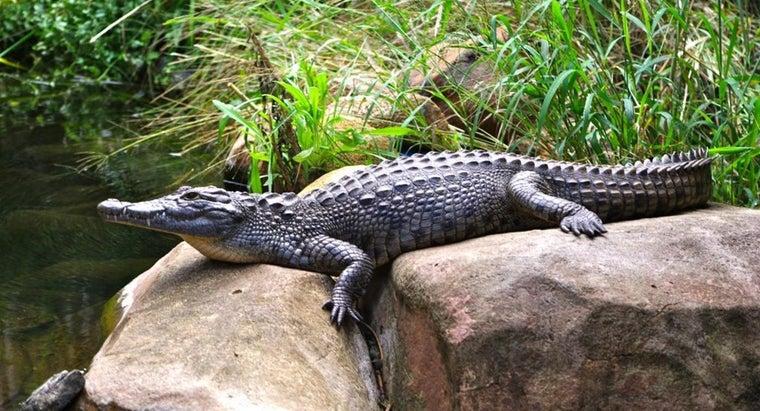 long-crocodiles-live