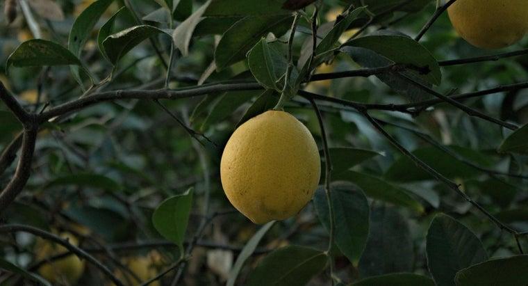 long-lemon-tree-grow-bear-fruit