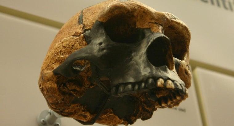 main-differences-between-homo-erectus-australopithecus