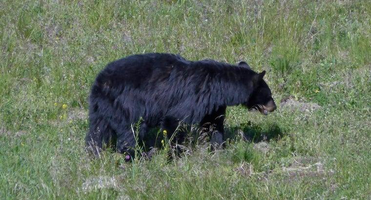 male-bear-called