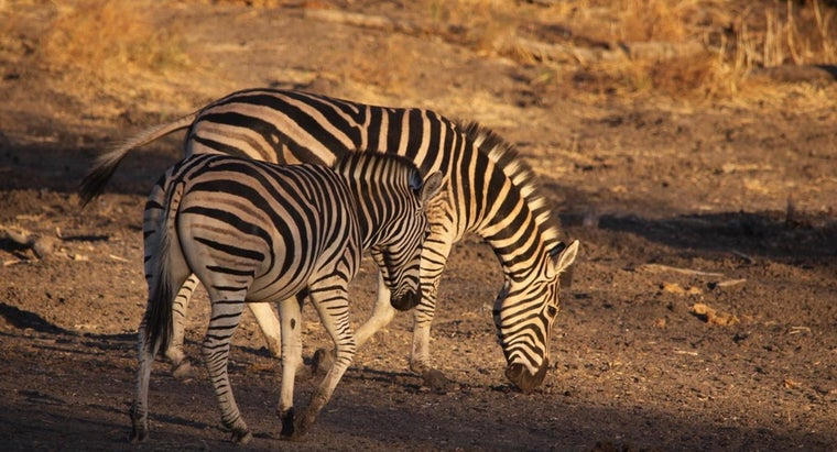 male-zebra-called