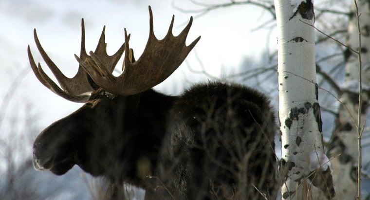 many-people-killed-moose-year