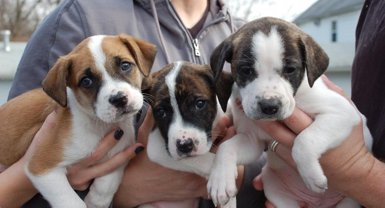 many-puppies-can-pit-bull-one-litter