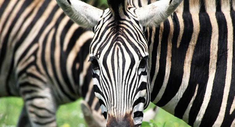 many-stripes-zebra
