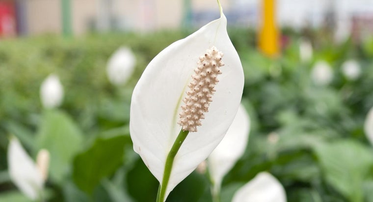 meaning-peace-lily
