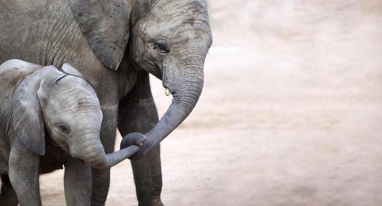 much-baby-elephant-weigh-birth