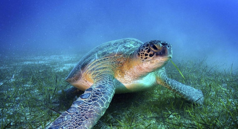 much-sea-turtles-weigh