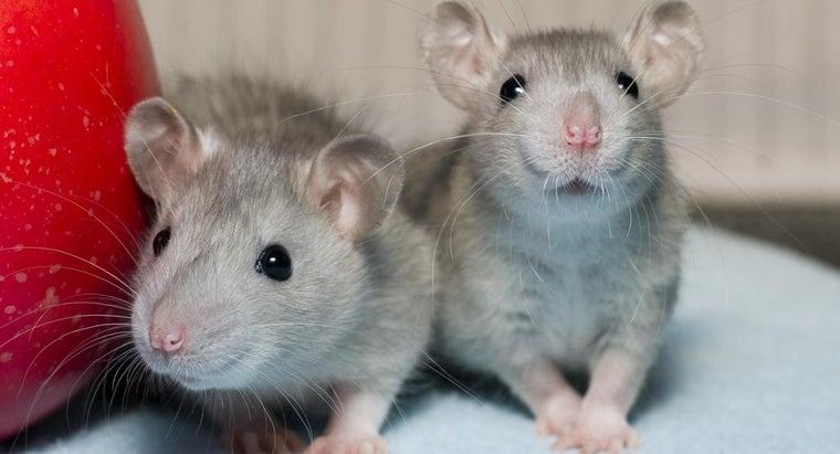 rats-eat