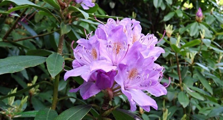 rhododendron-leaves-turning-brown