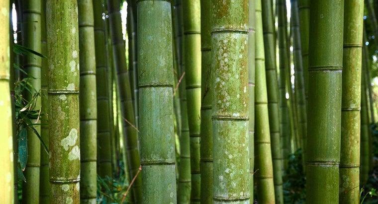 scientific-name-bamboo