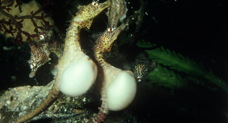 seahorse-give-birth