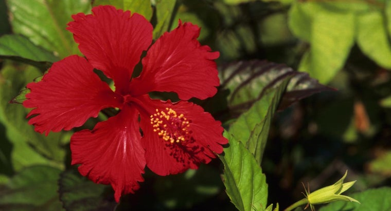should-plant-hibiscus