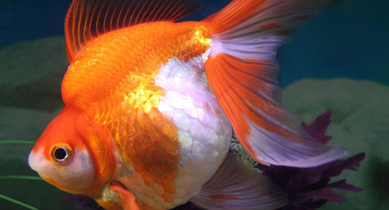 signs-pregnant-goldfish