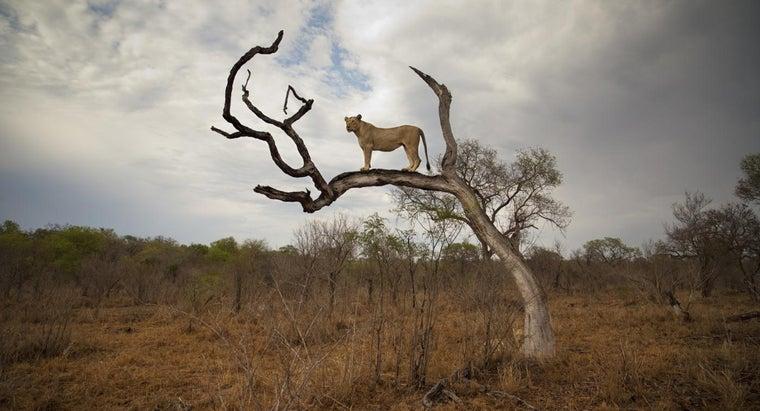 tall-lion
