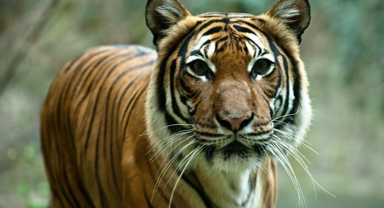 tigers-risk-extinction