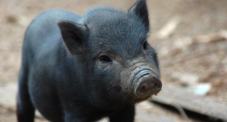 typical-lifespan-pig