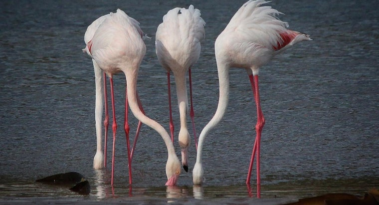 flamingos-eat