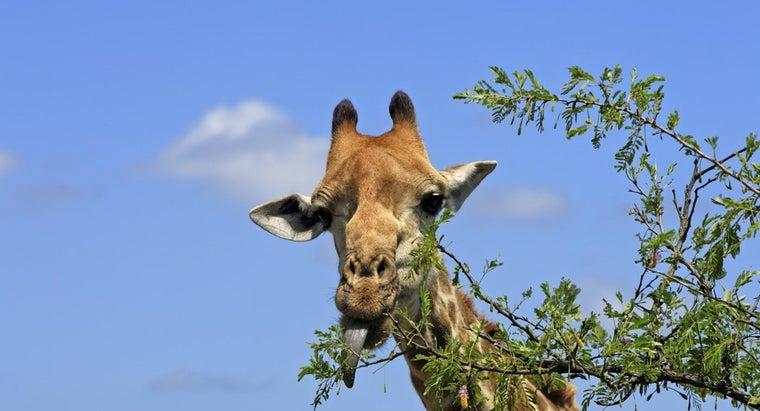 giraffes-eat