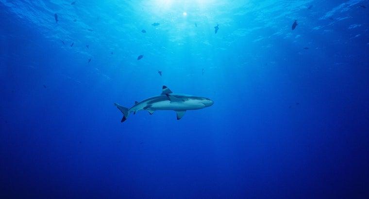 baby-shark-called