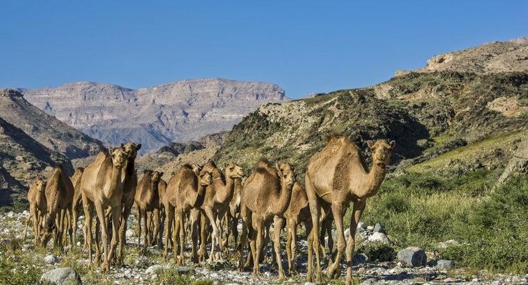 camels-live