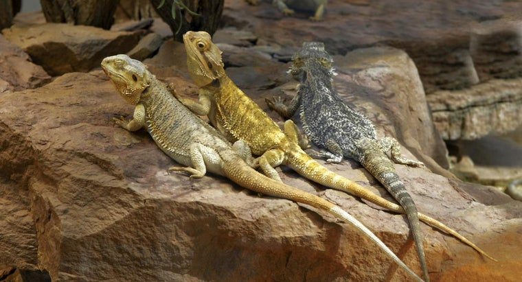 bearded-dragons-turn-yellow
